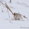 "Snow Bunting <br /> Road to Confluence Point State Park <br /> at ""S"" curve"