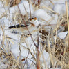 Snow Bunting <br /> Columbia Bottom Conservation Area