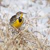 Eastern Meadowlark <br /> Columbia Bottom Conservation Area