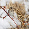 Savannah Sparrow <br /> Columbia Bottom Conservation Area