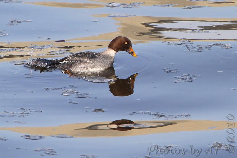 Common Goldeneye <br /> Below dam <br /> Riverlands Migratory Bird Sanctuary