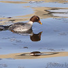 Common Goldeneye <br /> Below dam <br /> Riverlands Migratory Bird Sanctuary