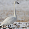 Trumpeter Swan <br /> Road to Confluence Point State Park