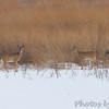 Whitetail Deer <br /> Heron Pond <br /> Riverlands Migratory Bird Sanctuary