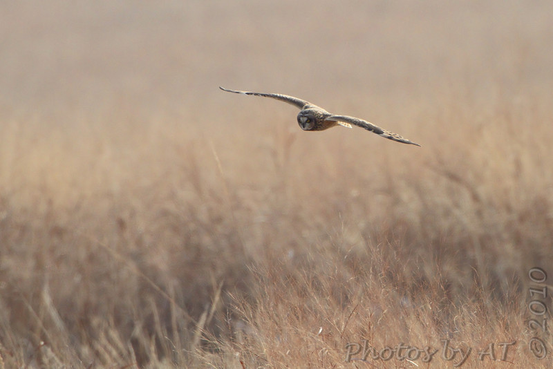 Short-eared Owl <br /> Heron Pond <br /> Riverlands Migratory Bird Sanctuary