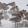 Canada Geese <br /> Ellis Bay <br /> Riverlands Migratory Bird Sanctuary