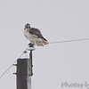 Red-tailed Hawk <br /> Intersection of Red School and Confluence Point SP Road