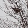 Red-tailed Hawk (Western - Dark-morph) <br /> Fee Fee and Natural Bridge Road <br /> Bridgeton, Mo.