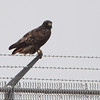 Red-tailed Hawk (Western - Dark-morph) <br /> - with a mouth full -<br /> Fee Fee and Natural Bridge Road <br /> Bridgeton, Mo.