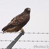 "Red-tailed Hawk (Western - Dark-morph) <br /> Fee Fee and Natural Bridge Road <br /> Bridgeton, Mo.Dark_morph"""