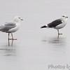Lesser Black-backed Gull <br /> and Heron Gull <br /> Ellis Bay <br /> Riverlands Migratory Bird Sanctuary