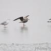 Lesser Back-backed Gull <br /> Ellis Bay <br /> Riverlands Migratory Bird Sanctuary