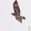 Red-tailed Hawk <br /> Lindbergh Blvd just north of tunnel