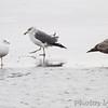 Lesser Black-backed Gull <br /> between Ring-billed and Heron Gulls <br /> Ellis Bay <br /> Riverlands Migratory Bird Sanctuary