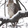 Red-shouldered Hawk <br /> City of Bridgeton <br /> St. Louis County, Missouri <br /> 2010-12-25
