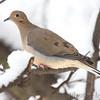 Mourning Dove  <br /> City of Bridgeton <br /> St. Louis County, Missouri <br /> 2010-12-25
