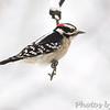 Downy Woodpecker <br /> City of Bridgeton <br /> St. Louis County, Missouri <br /> 2010-12-25