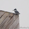 Belted Kingfisher <br /> Lamar Beach Rd between 8th and 4th streets <br /> Rockport, Texas