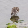 Short-billed Dowitcher <br /> Lamar Beach Rd between 8th and 4th streets<br /> Rockport, Texas