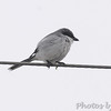 Loggerhead Shrike <br /> Lamar Beach Rd between 8th and 4th streets<br /> Rockport, Texas