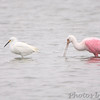 Snowy Egret and Roseate Spoonbill <br /> Lamar Beach Rd between 8th and 4th streets <br /> Rockport, Texas