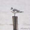 Laughing Gull <br /> Lamar Beach Rd between 8th and 4th streets <br /> Rockport, Texas