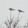 White-tailed Kites <br /> Galveston Island State Park <br /> Galveston Island - Texas