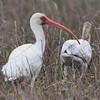 White Ibis <br /> Galveston Island State Park <br /> Galveston Island - Texas