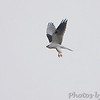 White-tailed Kite <br /> Galveston Island State Park <br /> Galveston Island - Texas