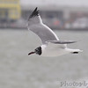 Laughing Gull <br /> Galveston Island Ferry <br /> Texas
