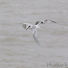 Forster's Tern <br /> Galveston Island Ferry <br /> Texas