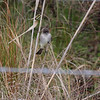 Eastern Phoebe <br /> Hwy 27 at Intracoastal Canal <br /> Louisiana