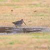 Wilson's Snipe <br /> Hwy 27 at Intracoastal Canal <br /> Louisiana
