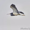 Tricolored Heron <br /> Hwy 27 at Intracoastal Canal <br /> Louisiana
