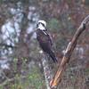 Osprey <br /> Hwy 27 at Intracoastal Canal <br /> Louisiana