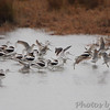 American Avocet and Short-billed Dowitchers <br /> along Hwy 27 <br /> Louisiana