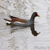Common Gallinule <br /> (previous Common Moorhen) <br /> Sabine National Wildlife Refuge <br /> Louisiana
