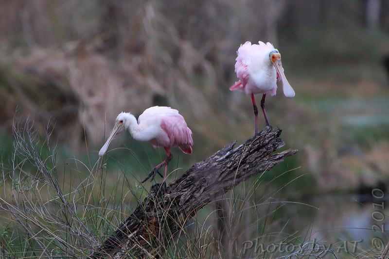 Roseate Spoonbill <br /> Louisiana