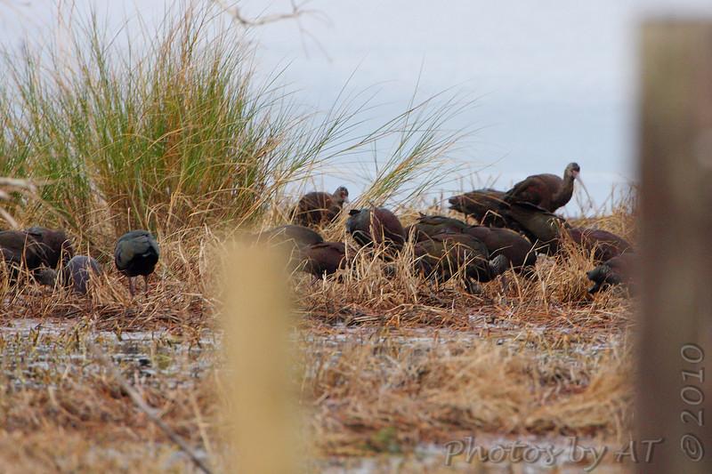 White-faced Ibis <br /> Marina Rd and Hwy 82 Pecan Island Area <br /> Louisiana