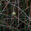 Common Yellowthroat ? or <br /> maybe a rare Gray-crowned Yellowthroat?<br /> Sabine National Wildlife Refuge <br /> Louisiana