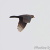 Boat-tailed Grackle  <br /> Sabine National Wildlife Refuge <br /> Louisiana