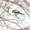 Loggerhead Shrike <br /> Sabine National Wildlife Refuge <br /> Louisiana