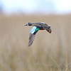 Blue-winged Teal <br /> Sabine National Wildlife Refuge <br /> Louisiana