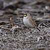 Horned Lark  <br /> Confluence Road <br /> Riverlands Migratory Bird Sanctuary