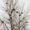 Cormorant nests <br /> Confluence Road <br /> Riverlands Migratory Bird Sanctuary
