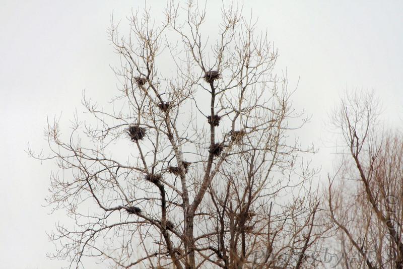 Cormorant nests <br /> Confluence Road <br /> Riverlands Migratory Bird Sanctuary
