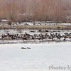Greater White-fronted Geese <br /> Heron Pond <br /> Riverlands Migratory Bird Sanctuary