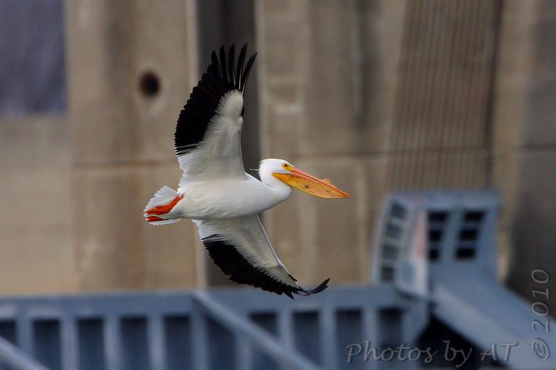 American White Pelican <br /> Riverlands Migratory Bird Sanctuary