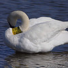 Trumpeter Swan <br /> Riverlands Migratory Bird Sanctuary