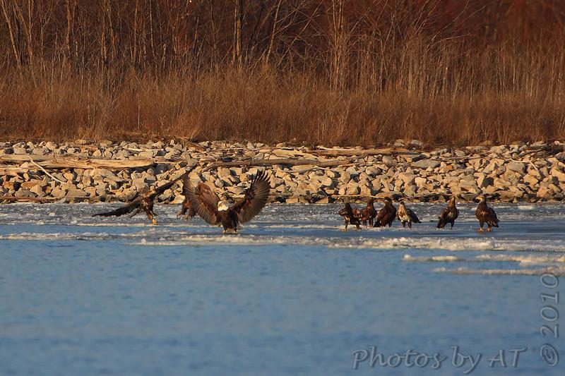 Bald Eagles <br /> Riverlands Migratory Bird Sanctuary